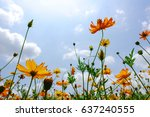cosmos flower blossoming on... | Shutterstock . vector #637240555