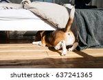 The Beagle Dog Crawls Under Th...