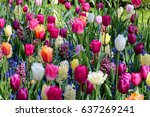 field of tulips and other... | Shutterstock . vector #637269241