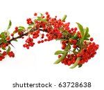 Pyracantha Red Berries On White