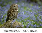 Tawny Owl Perched On Branch In...