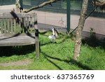 Lemur At The Five Sisters Zoo...