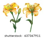 watercolor set of yellow lily...   Shutterstock . vector #637367911