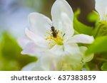 blooming apple tree | Shutterstock . vector #637383859