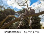 Ring Tailed Lemurs In The...