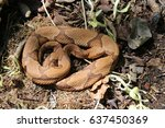 Small photo of Osage Copperhead (Agkistrodon contortrix phaeogaster) in Southwestern Missouri