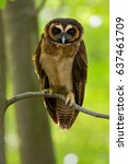 brown wood owl  strix... | Shutterstock . vector #637461709