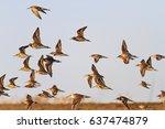 flock of sandpipers migrating... | Shutterstock . vector #637474879