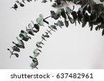 dried eucalyptus branches | Shutterstock . vector #637482961