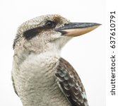 Australian Kookaburra By Itsel...