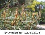 pinus densiflora siebold   zucc. | Shutterstock . vector #637632175