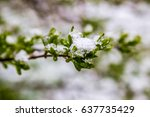 snow in spring  11 may 2017 ... | Shutterstock . vector #637735429