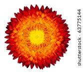 Single Beautiful Helipterum - Everlasting Flower, Immortelle, Rhodanthe, Strawflower Isolated on White Background - stock photo