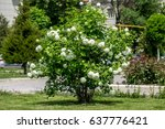 Green Bush With White Flowers...
