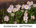 Closeup Of Japanese Anemone ...