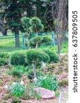 young pine bonsai growing in a...   Shutterstock . vector #637809505