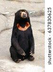 malayan sun bear is existing... | Shutterstock . vector #637830625