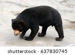 malayan sun bear is existing... | Shutterstock . vector #637830745