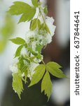 Small photo of Ash Leaved Maple leaves (Acer negundo, Box Elder, American maple, or Maple of the Ashberry) leaf in spring with snow
