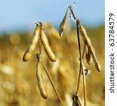 Soybeans Pod Macro. Harvest Of...