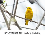 Male yellow warbler perched on...