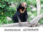malayan sun bear is existing... | Shutterstock . vector #637849699
