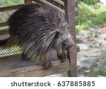 the north american porcupine ... | Shutterstock . vector #637885885