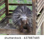 the north american porcupine ... | Shutterstock . vector #637887685