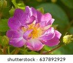 roseraie saint galmier in loire ... | Shutterstock . vector #637892929