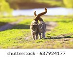 Stock photo two cute striped kitten walking on green grass next to and caress on a summer day 637924177