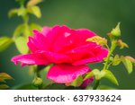 pink and white roses background ...   Shutterstock . vector #637933624