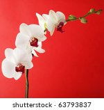 Flowers Of White Orchid With...