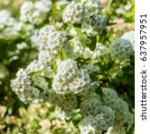 Small photo of A shot of the white blossom of a spiraea bush.