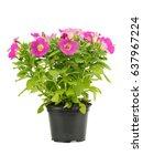 pink petunia flower in pot on a ... | Shutterstock . vector #637967224