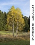 Small photo of Downy birch (Betula pubescens)