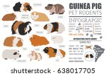 guinea pig breeds infographic... | Shutterstock .eps vector #638017705