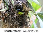 Small photo of The long-tailed broadbill is incubate eggs in nest.The female usually lays between 5 and 6 eggs that are incubated by both sexes; both sexes also help to feed the young.