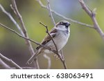 house sparrow on a branch | Shutterstock . vector #638063491