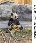 Small photo of TORONTO, CANADA - MARCH 12, 2016: Giant panda Da Mao eating bamboo in Toronto Zoo, Toronto, Canada Toronto Zoo closed on May 11, 2017 as more than 400 workers walk off the job.