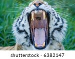 Siberian tiger yawning showing its tongue and teeth - stock photo