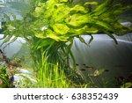 Small photo of Ottelia aquatic plants