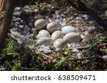 Swan Eggs Lay In A Nest On A...