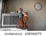 Small photo of Two cats somali and abyssinian portrait with microwave and clock on the wall