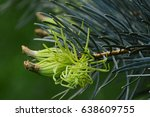Small photo of Detail of new needles on coniferous tree Colorado White fir Abies Concolor