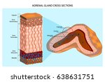 adrenal glands diagram.... | Shutterstock .eps vector #638631751