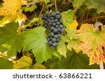 Black hamburg grapes for wine-making, Hampshire, England. - stock photo