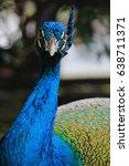 Peacock Staring