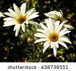 Small photo of African Daisy Flowers (Arctotis Acaulis) closeup on Leafs and Stems background Outdoors. Focus on Foreground