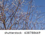 pussy willow on blue sky | Shutterstock . vector #638788669