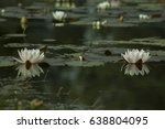 white nymphaea   hardy... | Shutterstock . vector #638804095